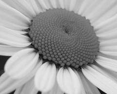 Monochrome Daisy (Bill_Oswald) Tags: daisy blackdiamond adobebridge azaleafestival artlegacy bwartaward