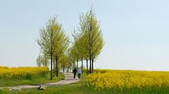 Spring walk (Umschauen) Tags: berlin yellow geotagged spring walk gelb raps canola frhling spaziergang rapeseed rapsfeld nikon18553556vr geo:lat=52583736 geo:lon=13464303