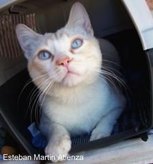 minino (estebanatienza) Tags: madrid macro blanco animal spain gato animales mascota mascotas mamfero minino blancura animalesybichos