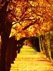 otoño en Chacras de Coria (.el Ryan.) Tags: argentina bokeh may colores amarillo mendoza otoño chacrasdecoria grouptripod