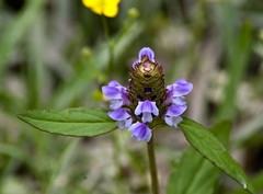Armand Bayou - Common Selfheal (Prunella Vulgaris)?