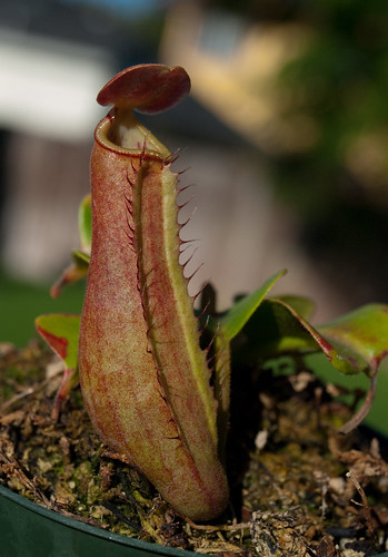 Nepenthes Truncata 'Pasian Highland' Front Of Pitcher