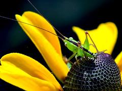 Green Immature Katydid - Tettigonioidea On Black-eyed Susan (jwinfred) Tags: plants macro nature mississippi nikon insects delta cypress 90mm preserve greenville d300 tamrom