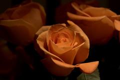 Roses (Etch-n-Eye) Tags: flowers roses nature canon20d 24105l diamondclassphotographer flickrdiamond