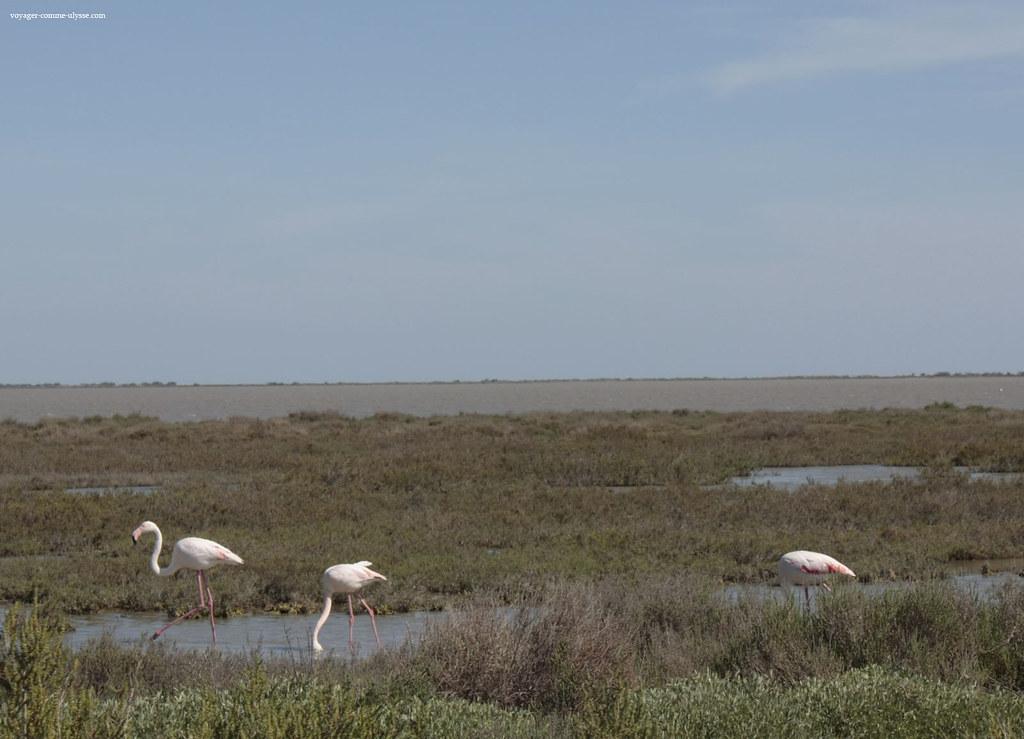 Les ornithologues sont heureux, en Camargue