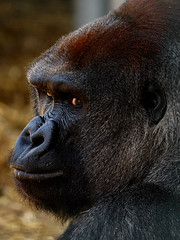 Gorilla (hugs6229 (back after a long break)) Tags: gorilla howletts silverback potofgold kouillou