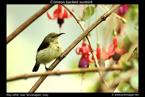 Crimson backed sunbird 3