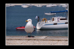 J'ai faim! (Erwan bazin photography (F2.8) very busy!) Tags: sea sun mer bird soleil boat ile bretagne hungry 29 bec t 18200 mouette oiseaux plumes finistre bazin faim iledebatz 50d canoneos50d worldbest thebestofday gnneniyisi erwanbazin reflexcanon bteu