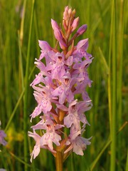 Common spotted orchid (brockwatcher) Tags: orchid draycote commonspottedorchid dactylorhizafuchsii draycotemeadows