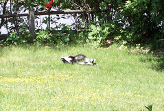 Skunk_Mom4Babies_60609ccropped