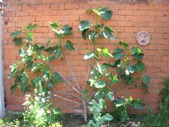 Figs (quisnovus) Tags: figs boccadellaverita