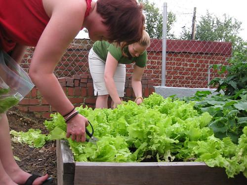 Great Lettuce Harvest of 2009