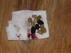 mulberrieswhite06-23-09pembroketownship