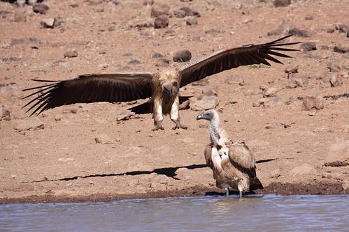 White-backed Vulture (Gyps africanus) Witrugaasvoel