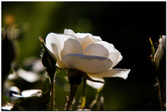 back-lit white rose with orton effect.jpg (Father Tony) Tags: summer white plant flower rose southdakota photo rapidcity whiterose adobephotoshopelements canonefs1755mmf28isusm canoneos50d ortoneffect adobephotoshopelements7