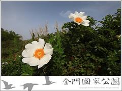 琉球野薔薇-01