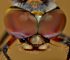 Glower of disapproval (radio4) Tags: insect dragonfly australia melbourne macrography specinsect buzznbugz macrolife beautifulmonsters thebestmacrophotos anisopterasp