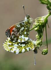 More orange tips (geoffspages) Tags: butterfly orangetip