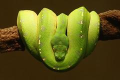 Green Tree Python (Mundo Poco) Tags: canon zoo reptile snake python greentreepython reidparkzoo sigma105mm eos450d rebelxsi