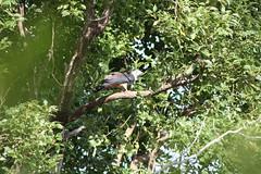 Crested Hawk 4 (Nathan Harris) Tags: hawk australia raptor nsw alstonville northernrivers pacificbaza crestedhawk