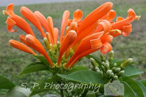 Orange Trumpet Flower