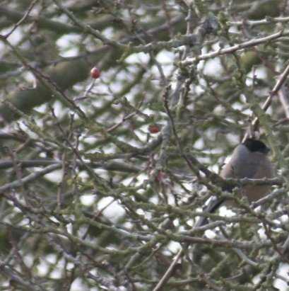 Female Bullfinch Feb09
