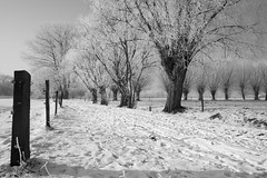 Peaceful (just.Luc) Tags: winter hiver trees bomen arbres snow sneeuw neige belgium belgië belgica belgien belgique pollardwillow knotwilg aumilieudelhiverjaidécouvertenmoiuninvincibleété árbol albero