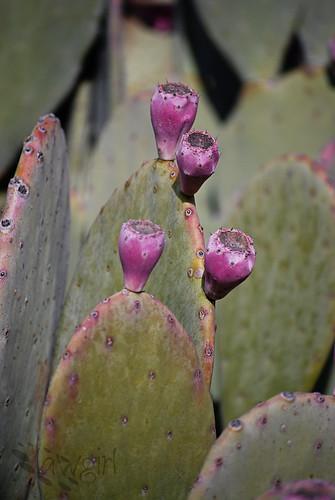 ABG_flowering_cactus[2009]