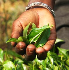 Tea in Hand (JING Tea) Tags: tea srilanka ceylon teapicking teapickers ceylontea