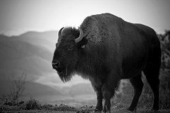 Bison @ Sunset (kotobuki711) Tags: ranch park winter sunset blackandwhite bw mountains texture grass pine buffalo colorado dusk eating scenic horns co rockymountains february bison mammals preserve grazing americanbison douglascounty danielspark 6590ft