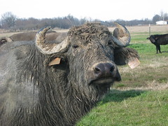 I'm l;ookin' Good~! (WaterBuffalo) Tags: waterbuffalo buffalosteak rainforestanimals animalsmating waterbuffalopicture waterbuffaloforsale