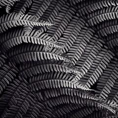 ferns (sue.h) Tags: blackandwhite monochrome rainforest pattern ferns toned fronds greenmountains lamingtonnationalpark