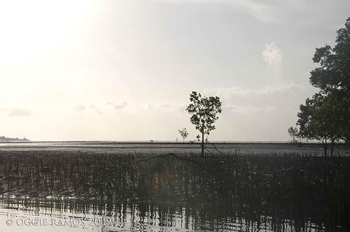 puerto princesa mangrove