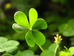 Strictly Lucky (jciv) Tags: desktop wallpaper macro green oxalis shamrock stpatricksday raynox 430ex file:name=img2166