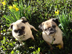 spring pugs 2