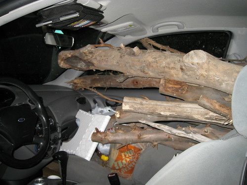 Eucalyptus logs and branches filling cockpit area of 2000 Ford Focus hatchback