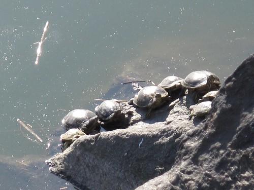Sunbathing turtles in Central Park