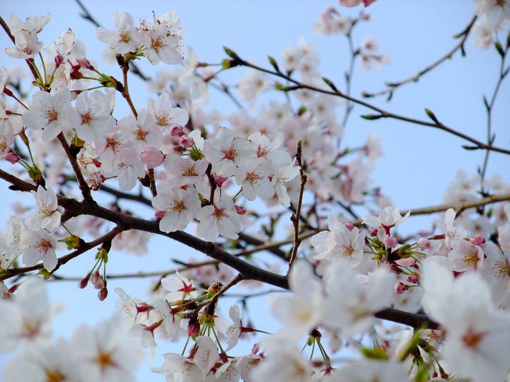 Sakura snap 1
