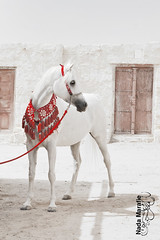 Beauty **Explore ** (SanforaQ8) Tags: red horse white beauty animal lens nikon free photographers kuwait d200 2009 q8 alwafra sanfora nadamarafie baitalarabphotographycontest