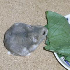 小松菜を食べるコー太