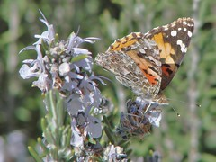 painted lady (mjhinton) Tags: butterflies bugs paintedlady
