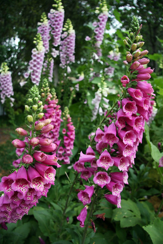 Fuschia Foxgloves
