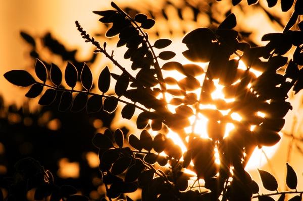 sun_leaves_0174