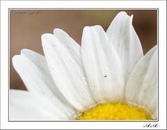 Detalle acuoso (olyverde2007) Tags: naturaleza white flower macro blanco nature water yellow closeup petals agua flor olympus amarillo daisy margarita e3 zuiko petalo uro 35mmmacro