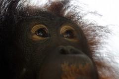 Orangutan eye (@Doug88888) Tags: world pictures eye monkey image picture images buy orangutan purchase doug88888