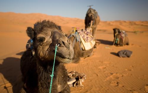 Camel, Erg Chebbi, Merzouga, Morocco