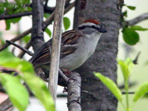 Chipping Sparrow 20090508