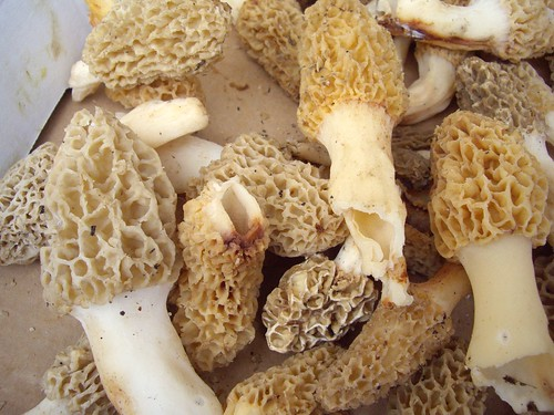 Morel Mushrooms from Wish Well Farms