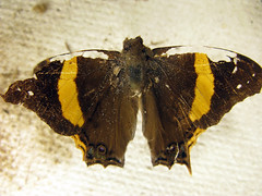 Butterfly with the scabbed wings