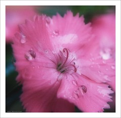 pink beauty (Andrea Rapisarda) Tags: pink naturaleza flower green nature beauty closeup fleurs garden drops bokeh natura drop fiore orton sfumato bellezza hbw olympuse510 rapis60 andrearapisarda vosplusbellesphotos cffaa